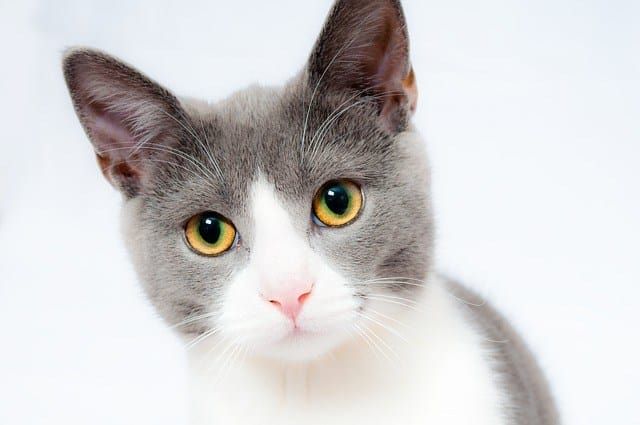 Cats With Long Ears