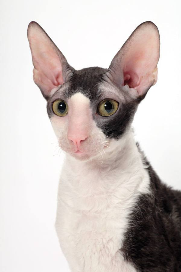 Cat breeds with big ears
