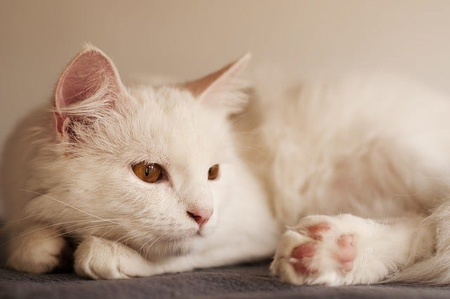 All white cat breeds