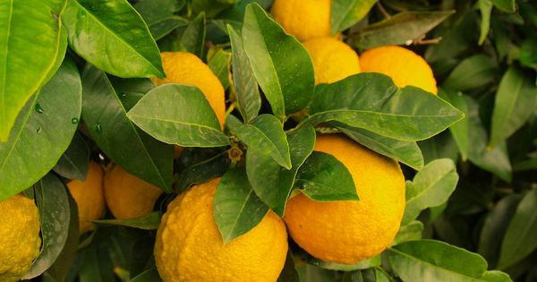 Health Benefits of Lemon to Cats