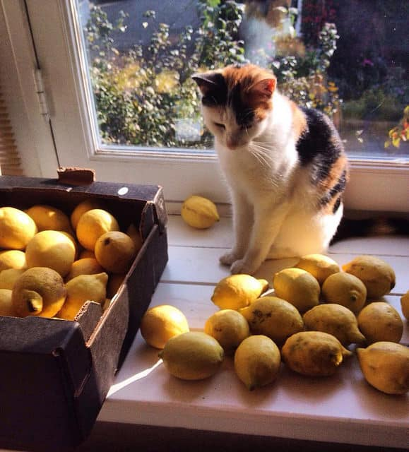 Do cats like lemon