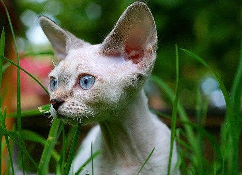 Devon Rex cat