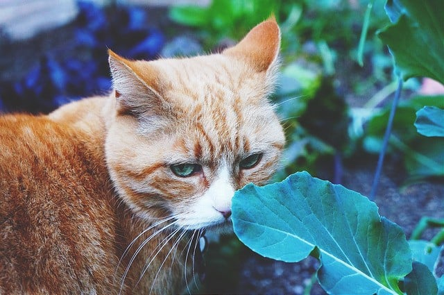is lettuce safe for cats