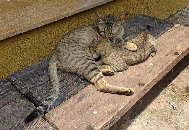 Bengal vs Savannah cat, how to pick between them