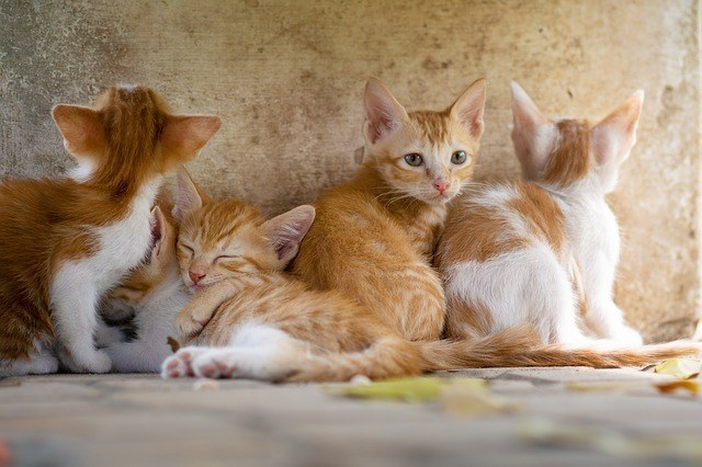 is melatonin safe for cats