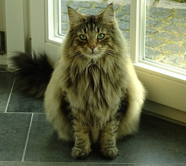 Coat of Maine Coon Cat