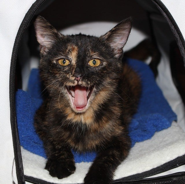 facts about tortoiseshell cats