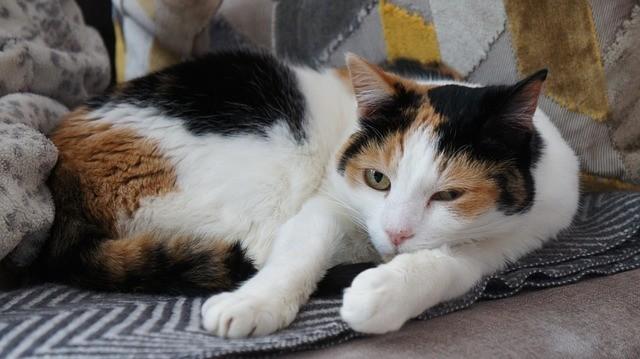 dilute tortoiseshell cat