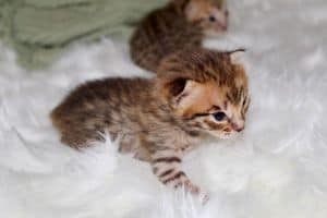 baby f1 savannah cats