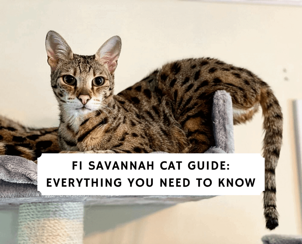 f1 Savannah cat guide_ Everything you need to know