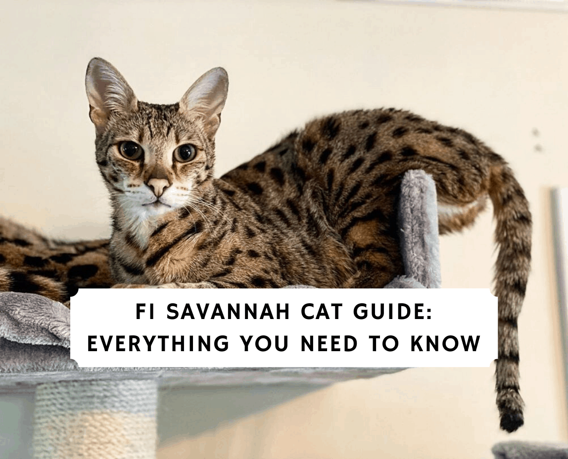 What Is An F1 Savannah Cat 2020 The Ultimate Guide Miauland Com