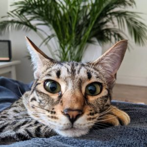 F1 Savannah Cat Appearance