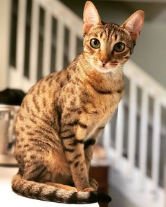 f1 savannah cat health