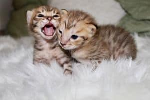 f1 savannah kitten picture